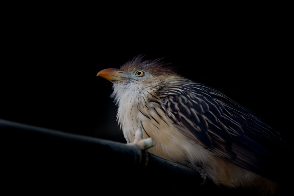 Guira cuckoo by leonbuys83