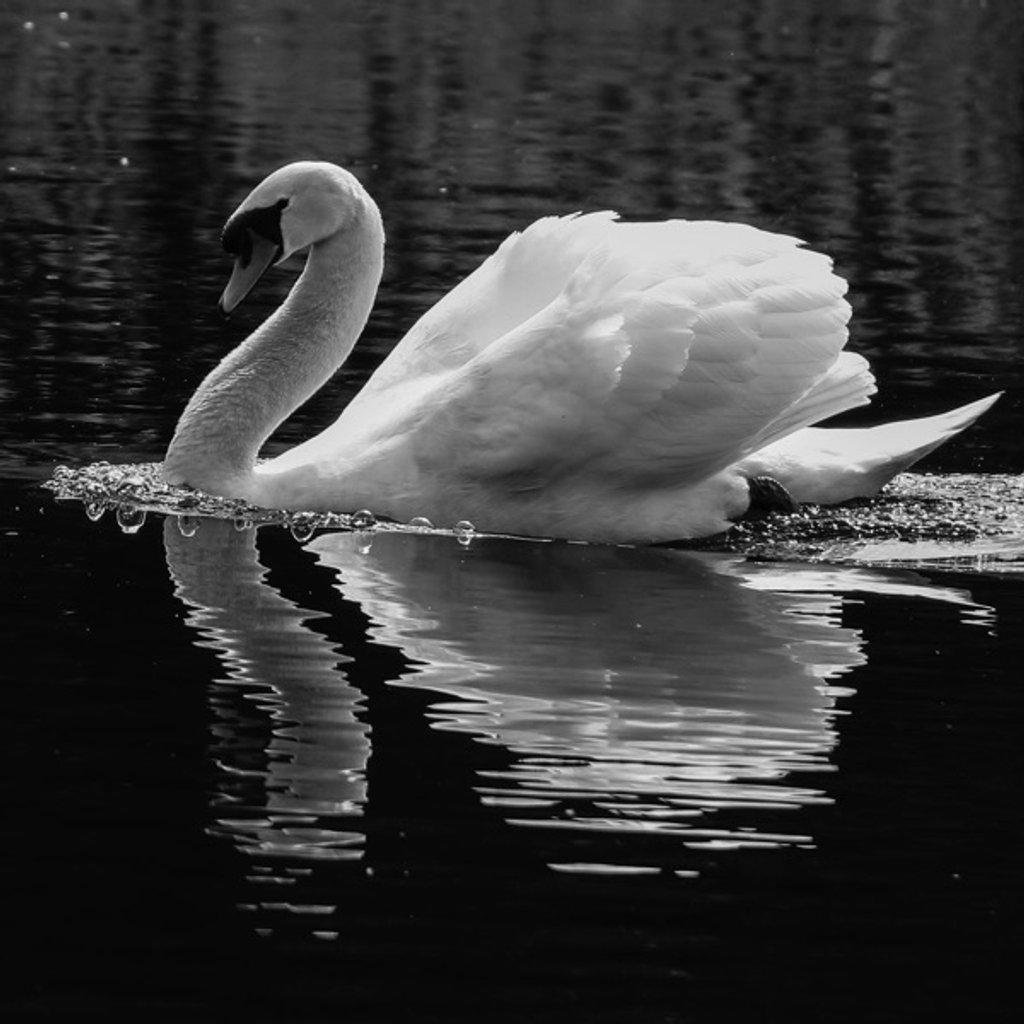 Gracious Swan by bizziebeeme