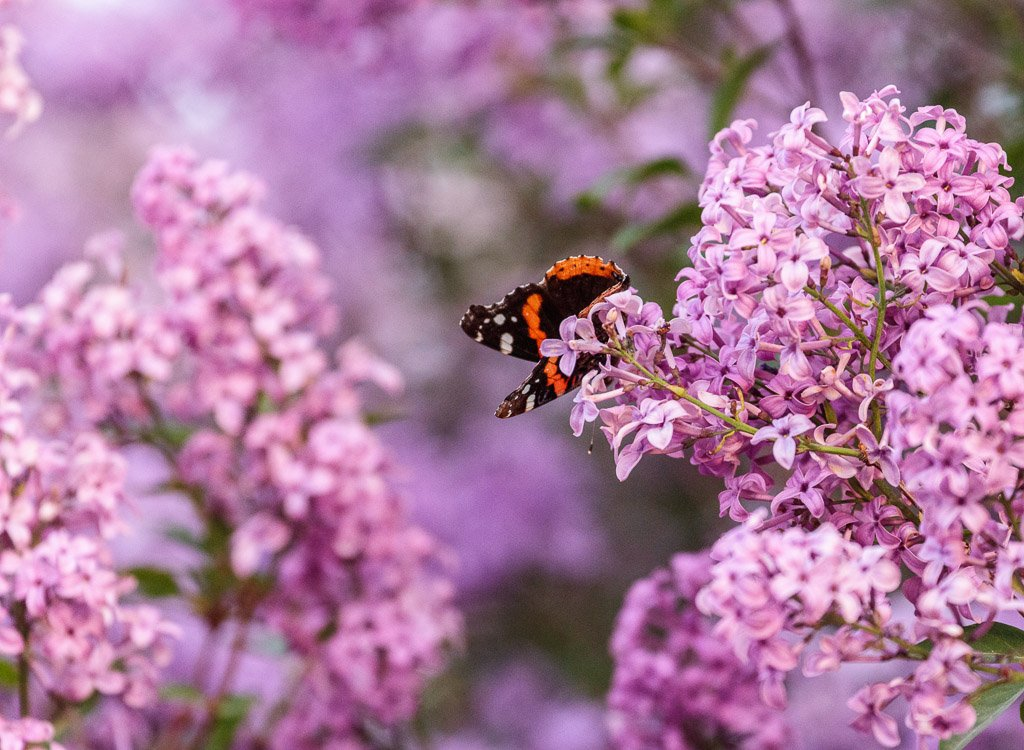 lilacs by aecasey