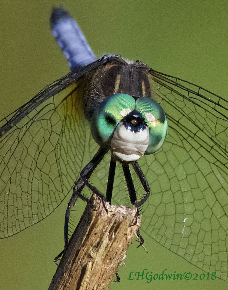 LHG_5153-Face of Blue Dasher by rontu