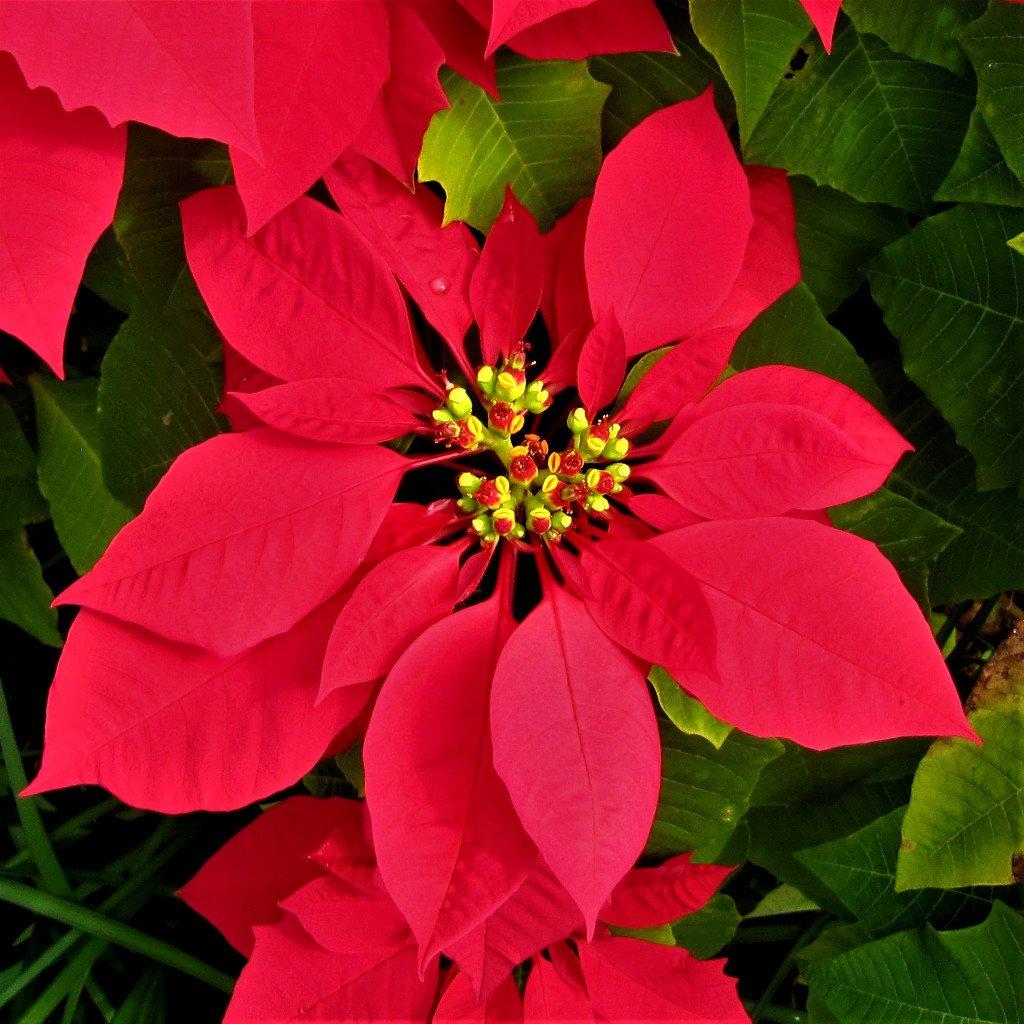 Poinsettia Flower ~ No.2    by happysnaps