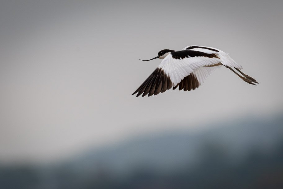 2018 06 01 - Avocet in Norfolk by pixiemac