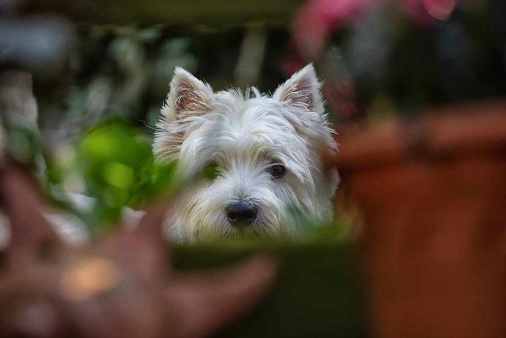 George peeping through the flower pots by pamknowler