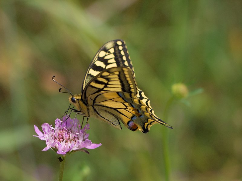 The propitious butterfly  by laroque