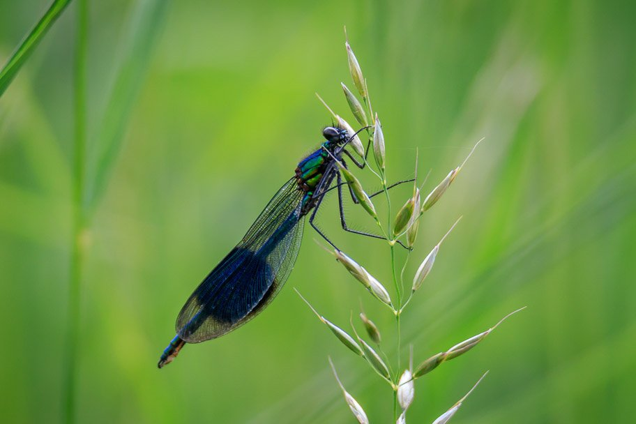 2018 06 06 - banded demoiselle by pixiemac