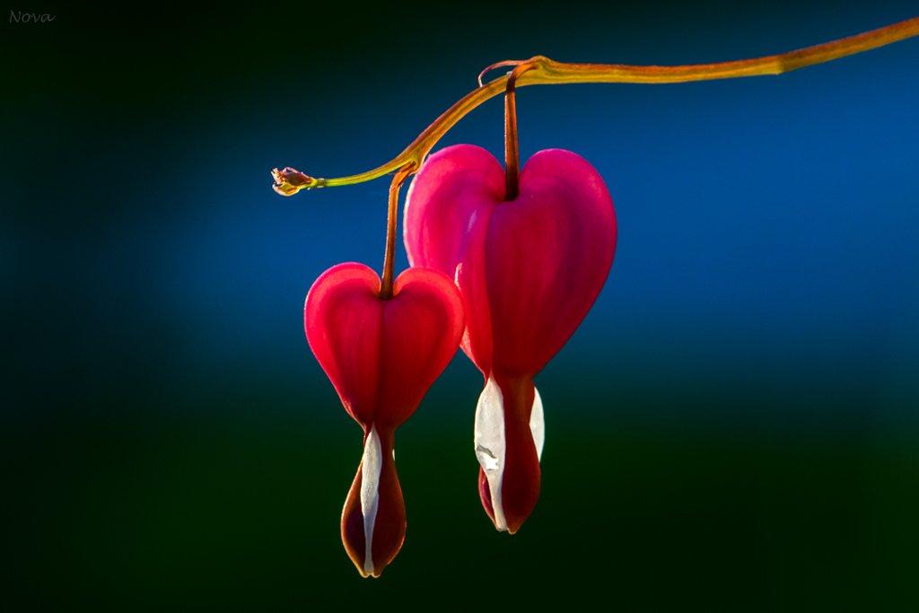 My bleeding hearts by novab
