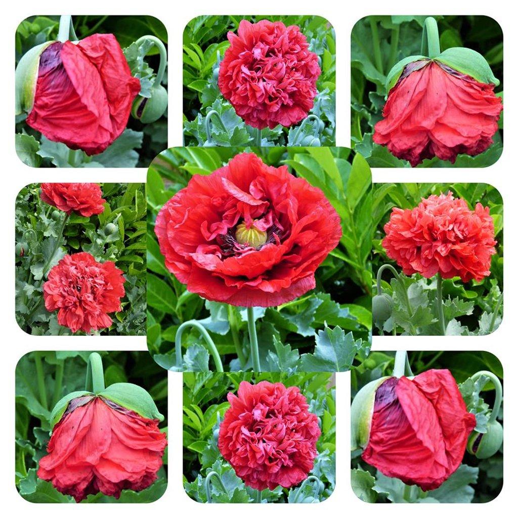 Poppies in my garden  by beryl