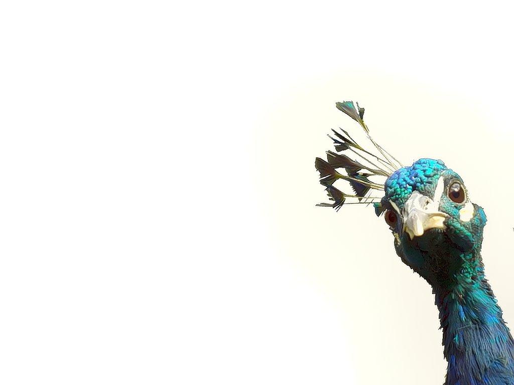 peeking peacock by suzanne234