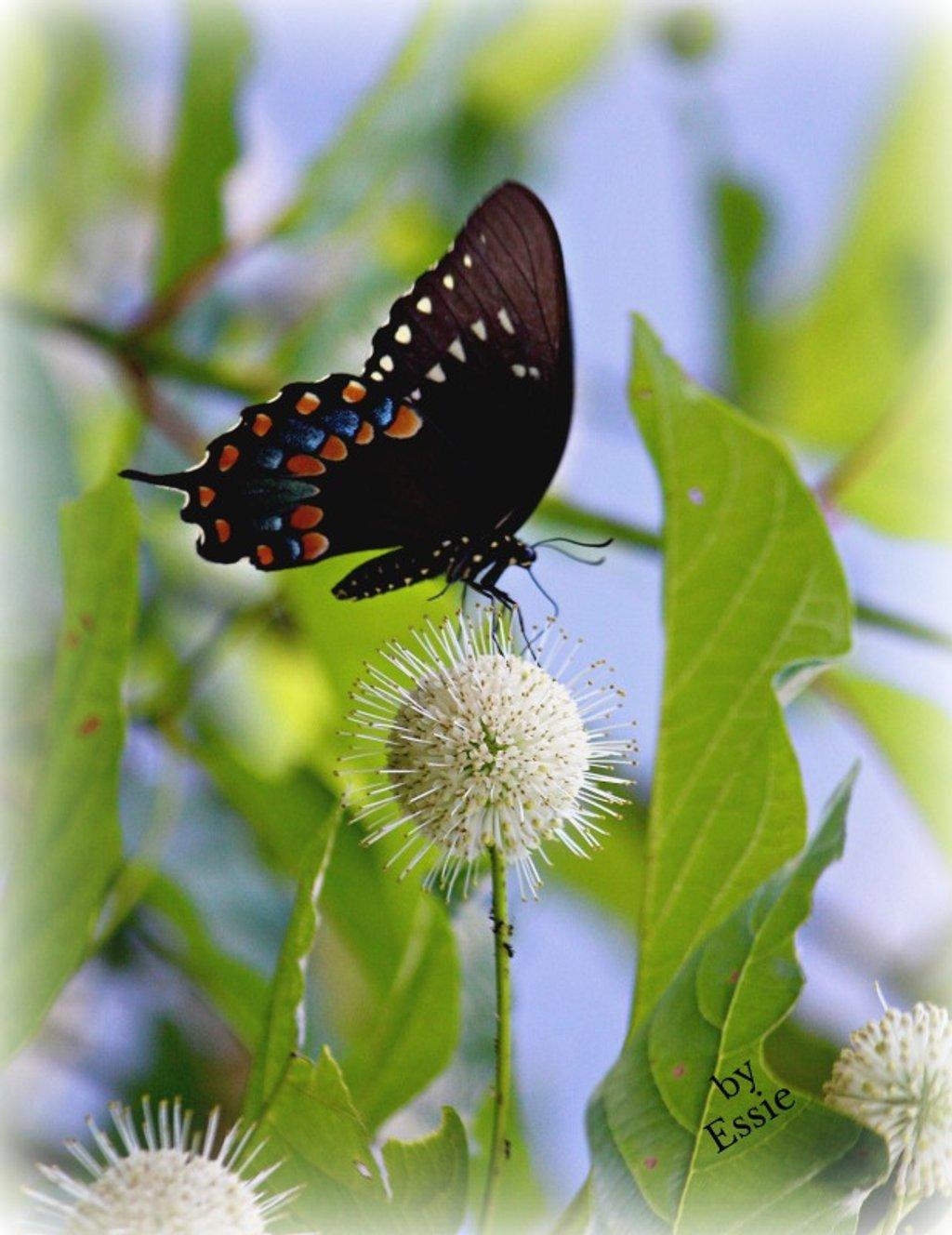 B & B  (Butterfly on Button Bush) by essiesue