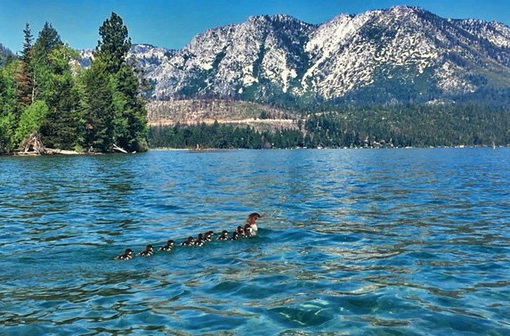 Tahoe Ducks  by joysfocus