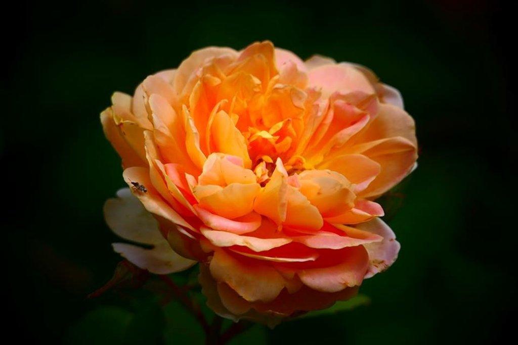 Marmalade Rose by carole_sandford