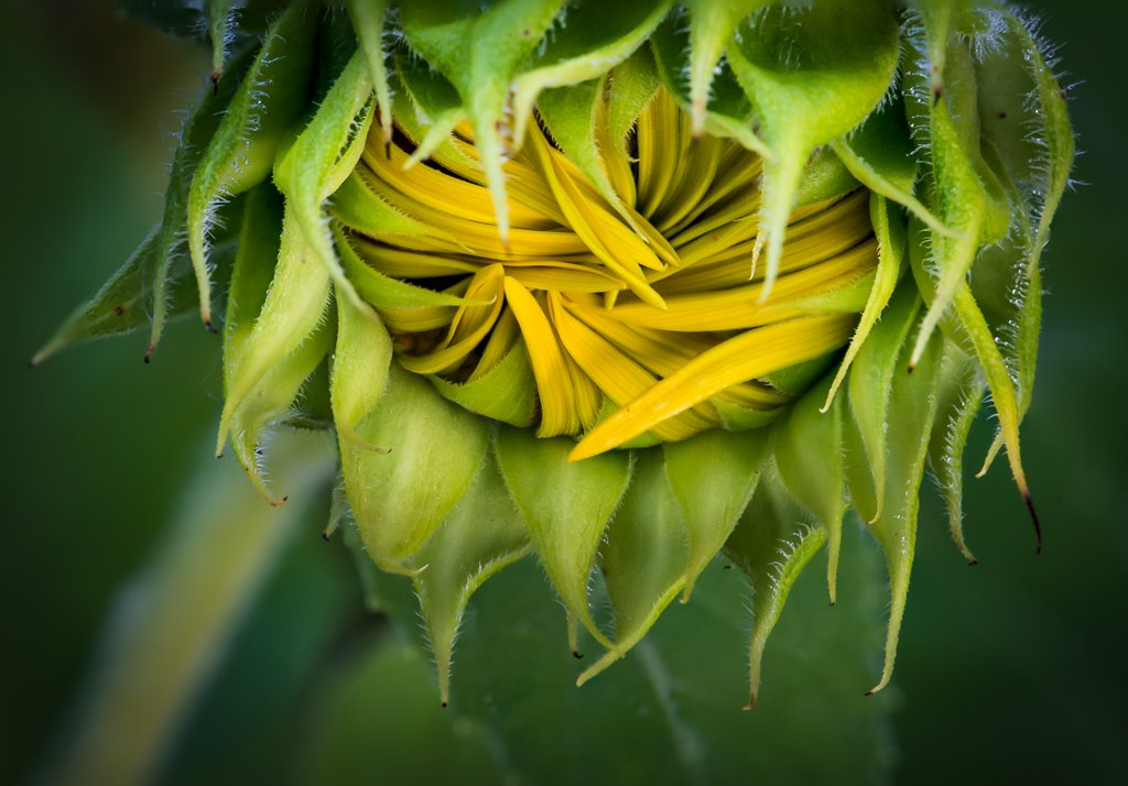 Emerging Sunflower by jeetee