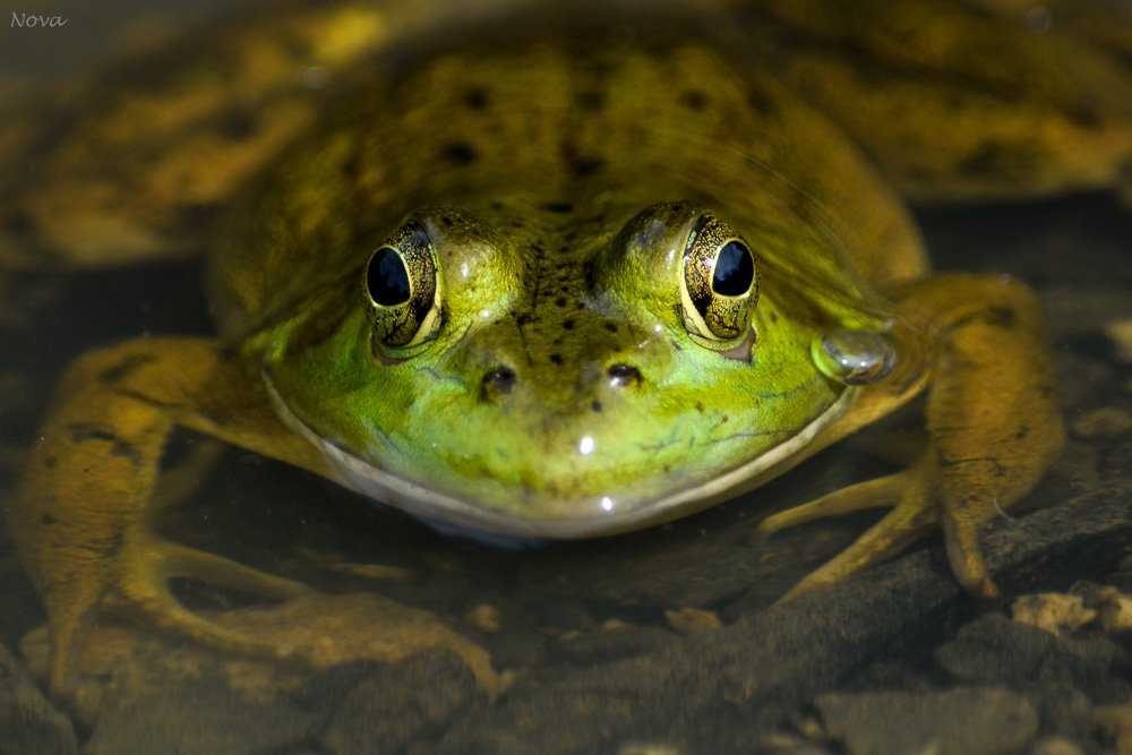 Frog eyes by novab