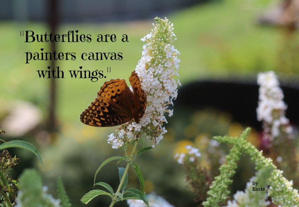 Joan's butterfly bush by essiesue