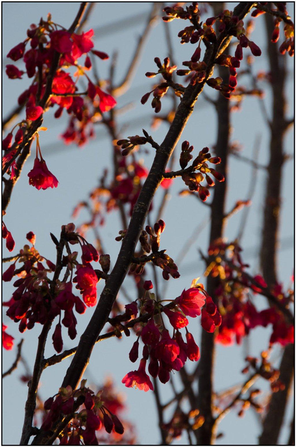 Winter Garden XII: New Cherry Blossom by chikadnz