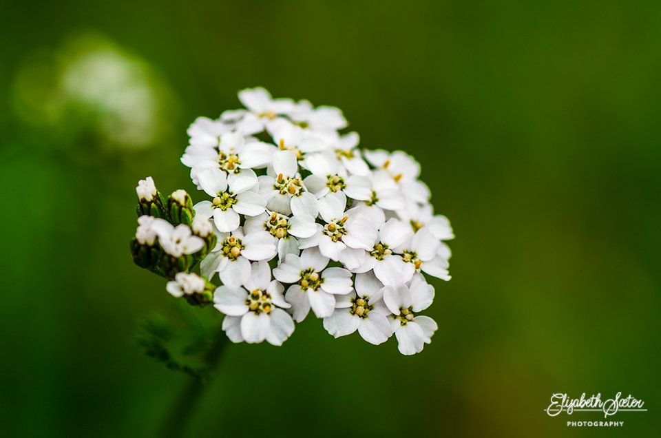 White flower by elisasaeter
