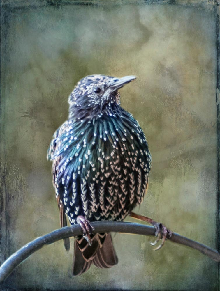 Starling by pamknowler