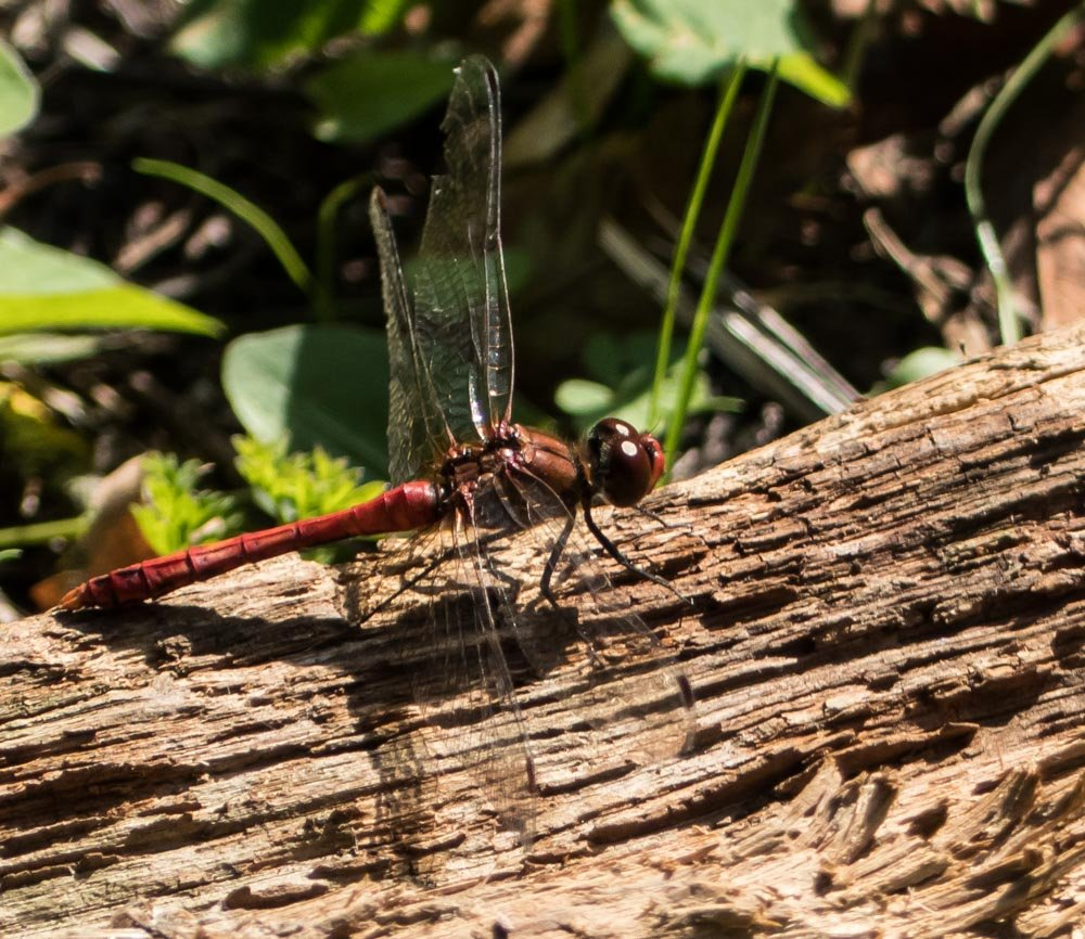 Red Dragonfly by pamknowler