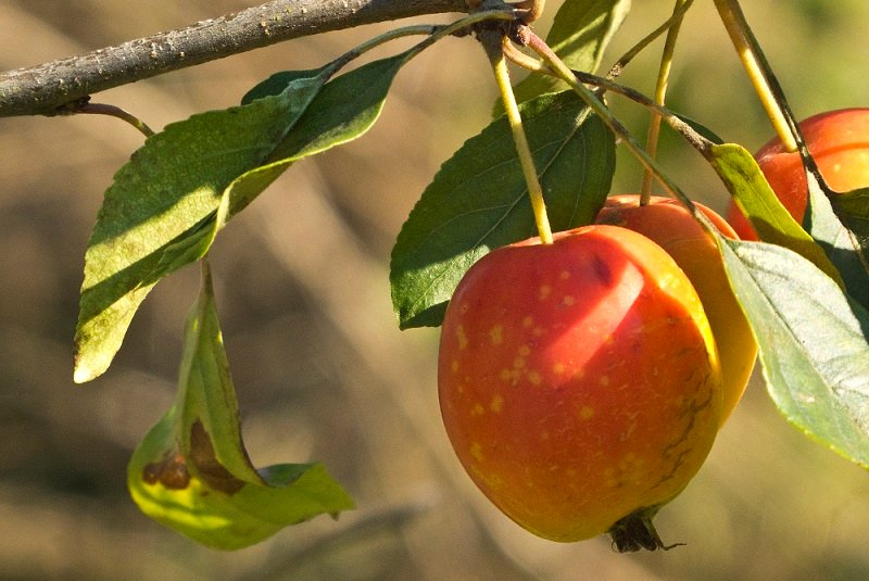 Crab Apple by helenhall