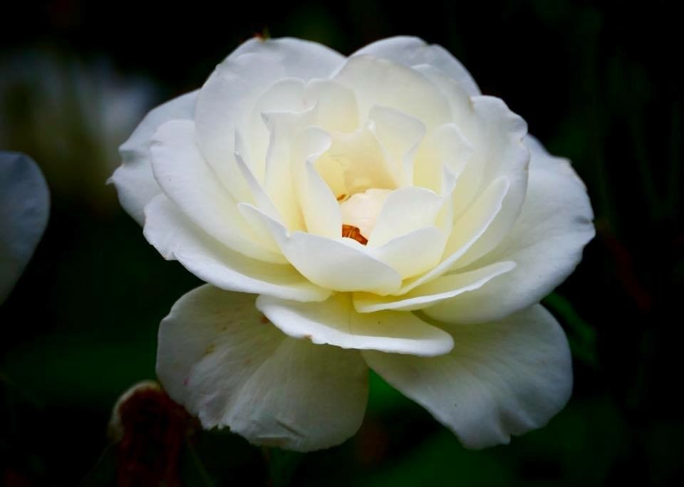 White Rose by carole_sandford