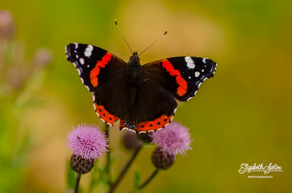Butterfly by elisasaeter