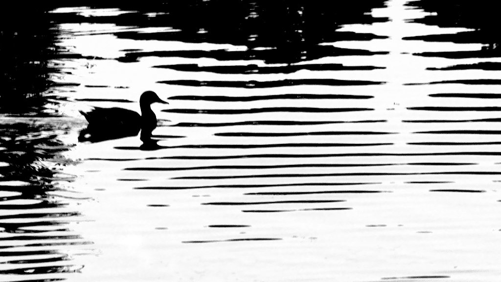 Duck by lsquared