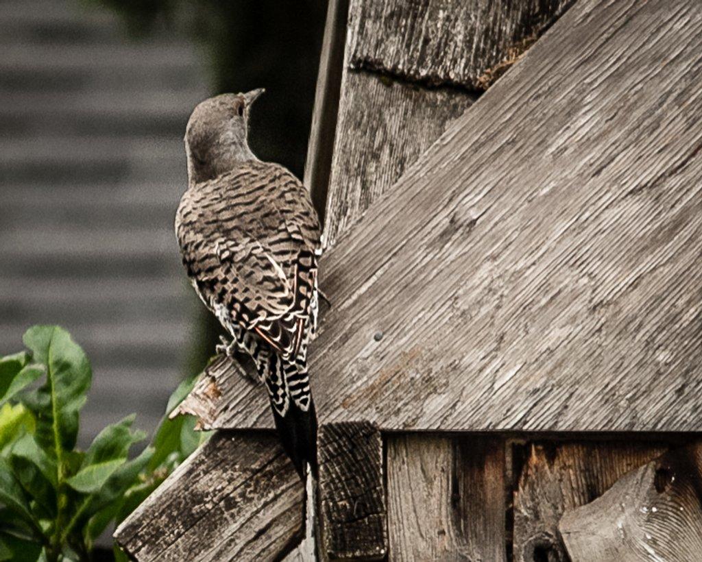 Woodpecker by mamazuzi