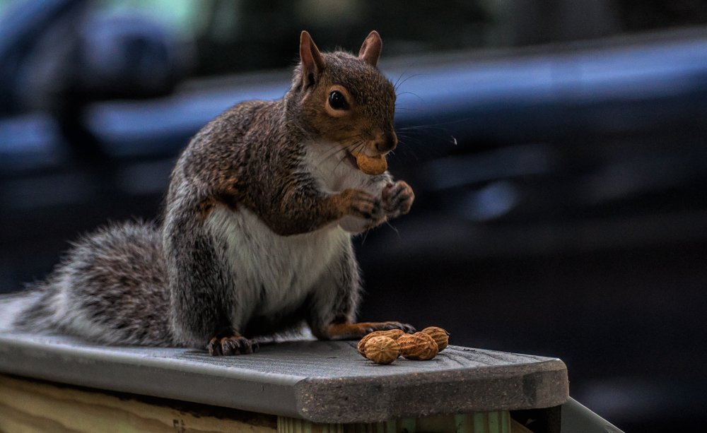 Squirrel on the deck by joansmor