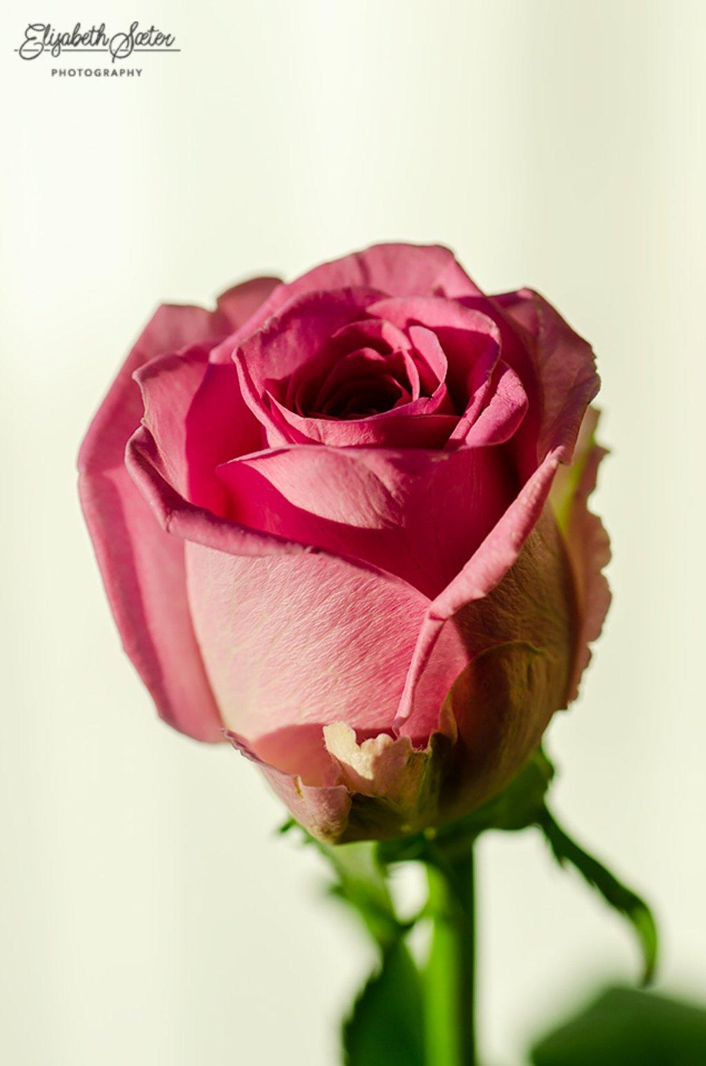 Pink rose by elisasaeter