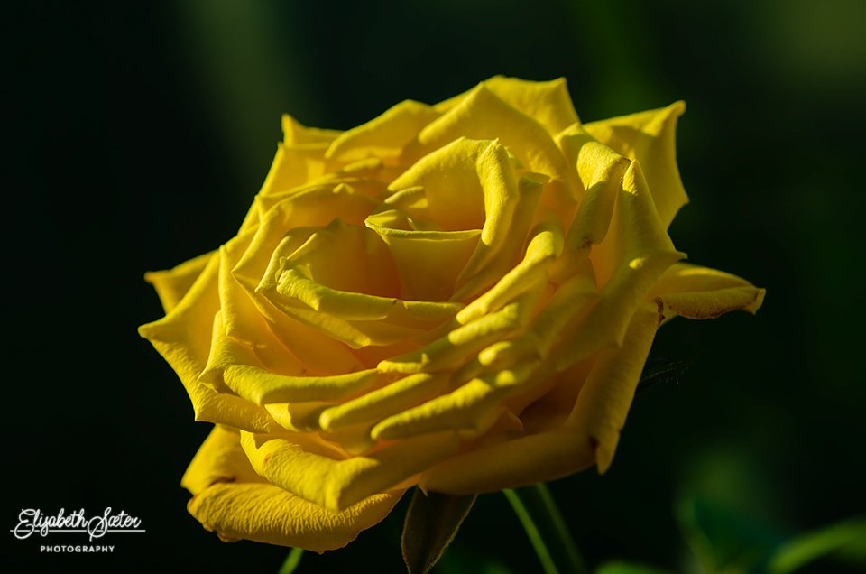 Yellow rose by elisasaeter