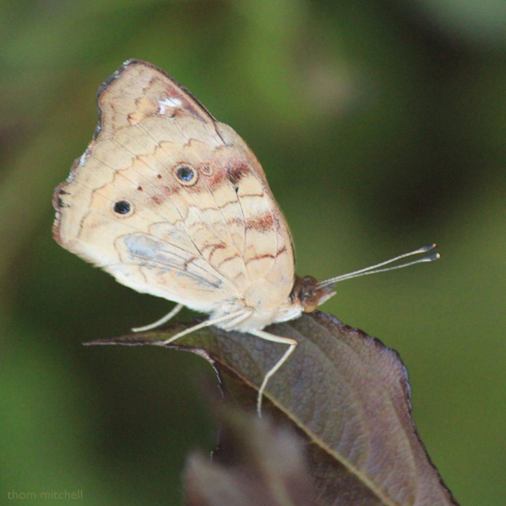 Common Buckeye (below) by rhoing