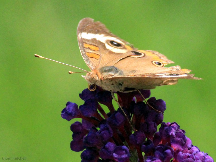 Common Buckeye (above) [Filler] by rhoing