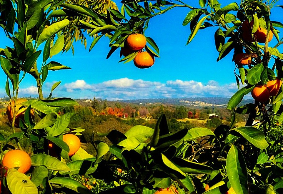 Newcastle Mandarin Ranch by gardenfolk