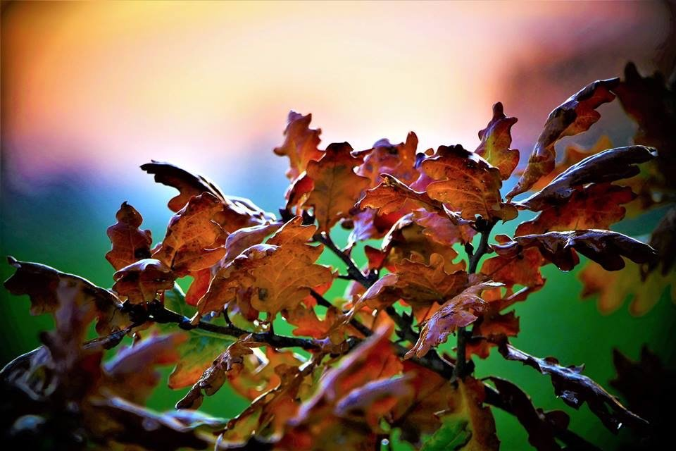Oak Leaves at Sunset by carole_sandford