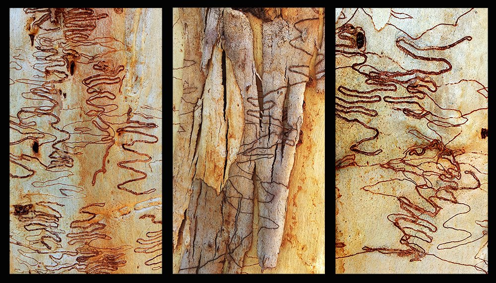 Scribbly Gum Triptych by onewing