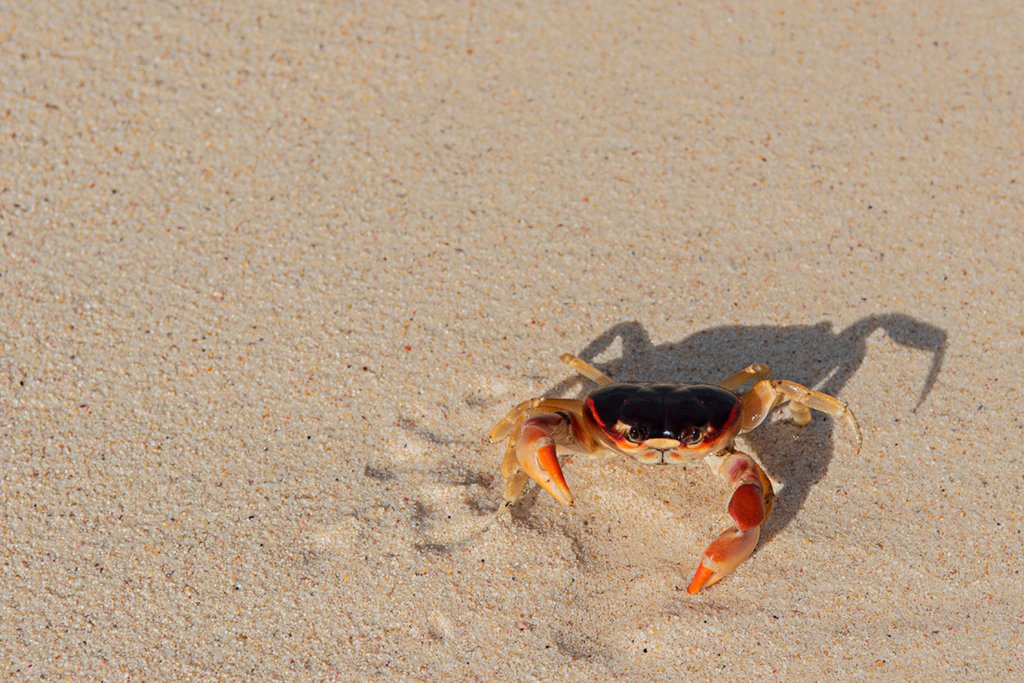 Crab by lstasel