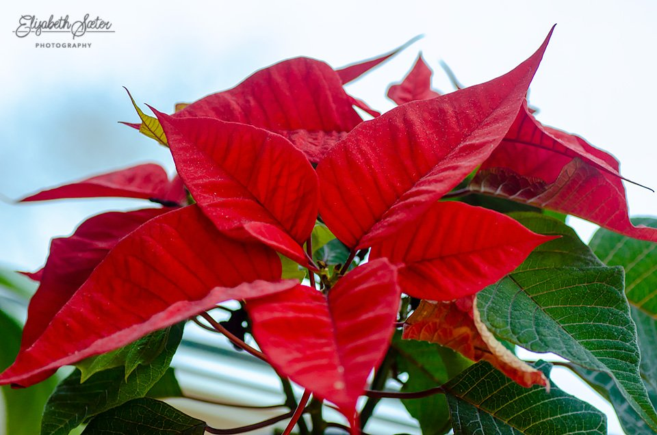 Poinsettia by elisasaeter