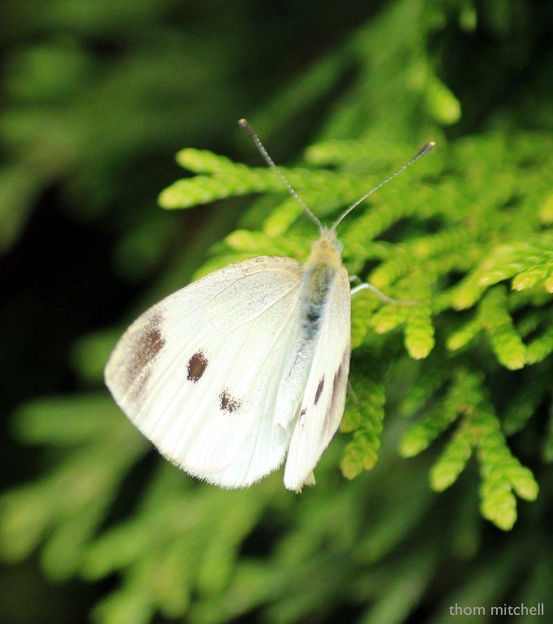 """""""Cabbage White"""" by rhoing"""