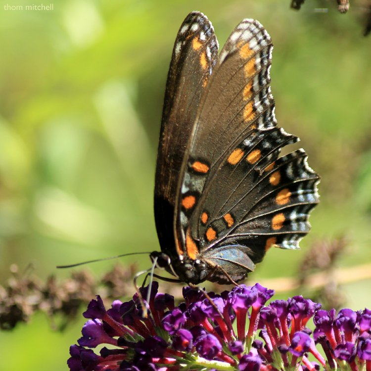 """'Astyanax' Red-spotted Purple"" [Filler] by rhoing"