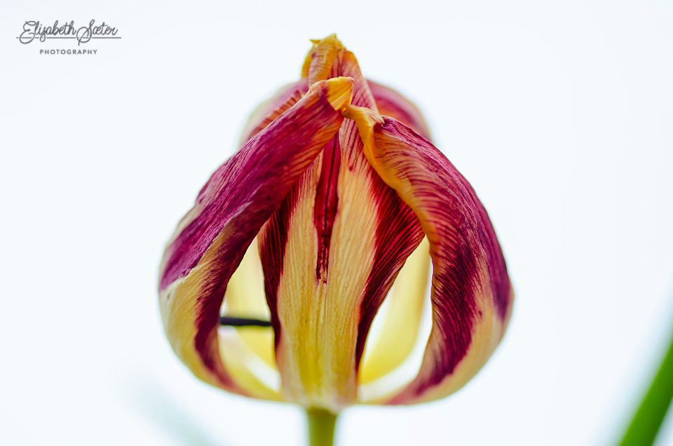 Withered tulip by elisasaeter