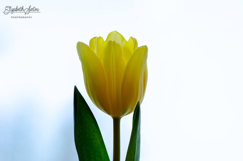 Yellow tulip by elisasaeter
