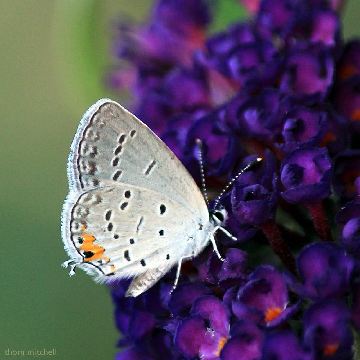 Eastern-tailed Blue by rhoing