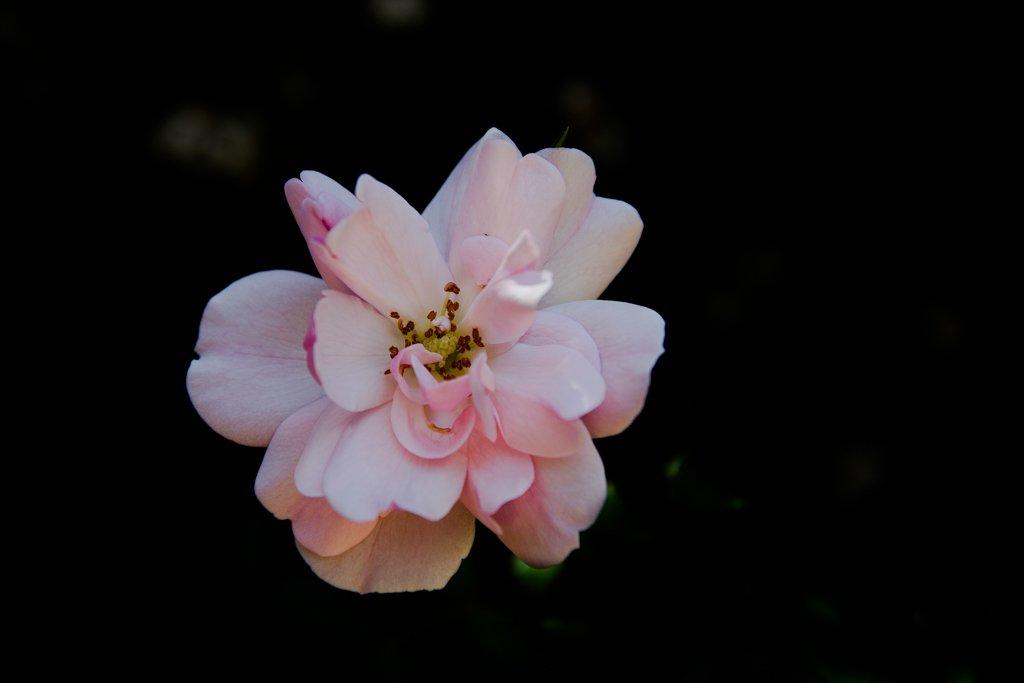pink flower by peta_m