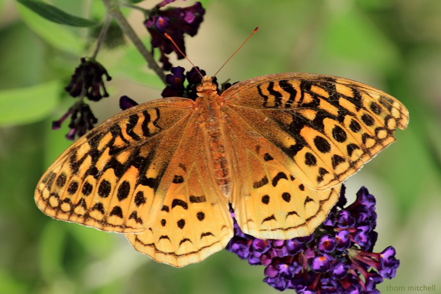 Great Spangled Fritillary by rhoing
