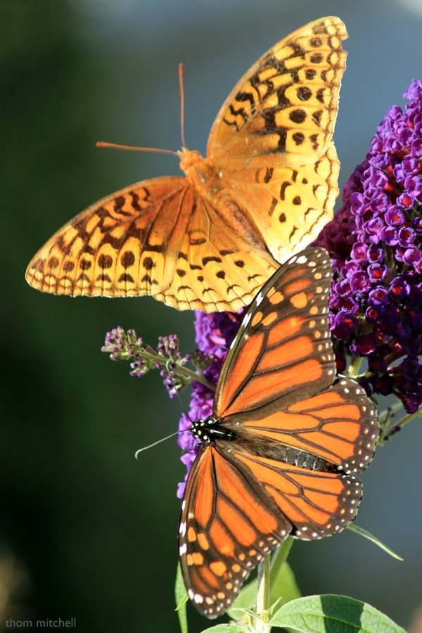 Fritillary + Monarch by rhoing
