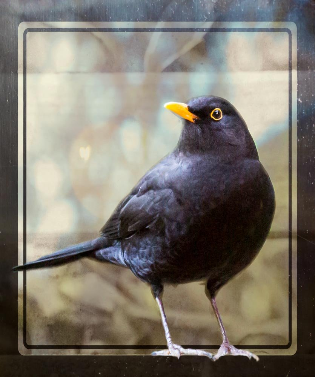 Blackbird by pamknowler