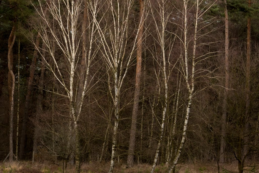 White Trees - Horizontal crop by leonbuys83