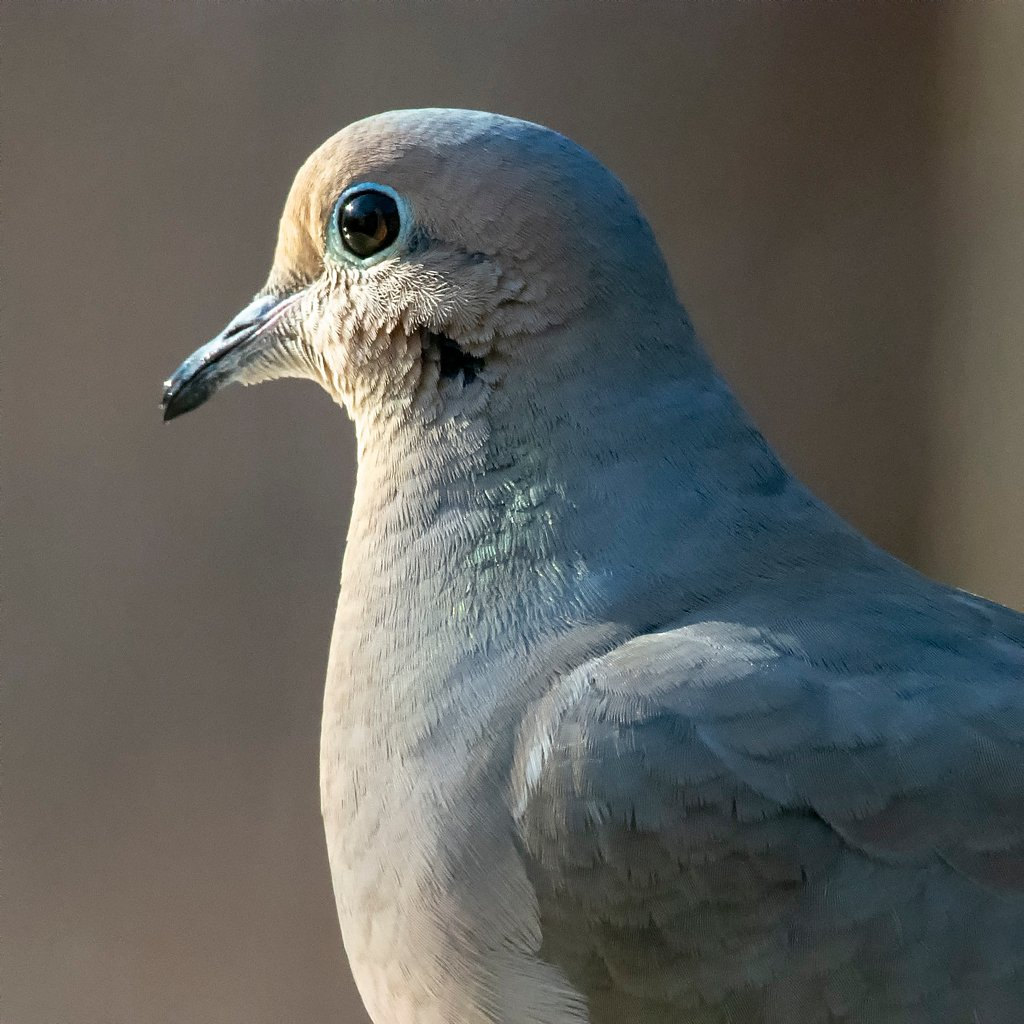 Mourning Dove by ksmale