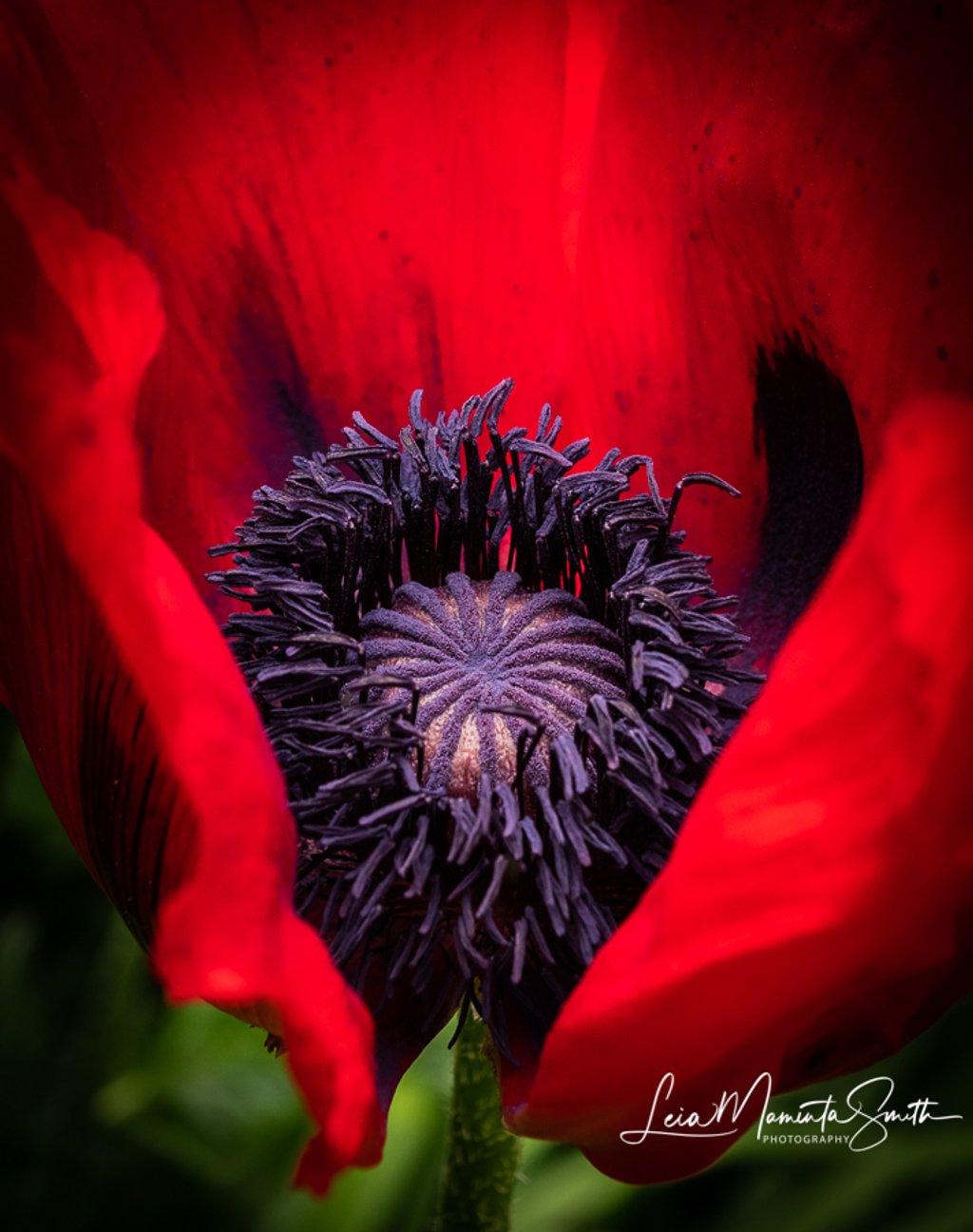Red Poppy by princessleia