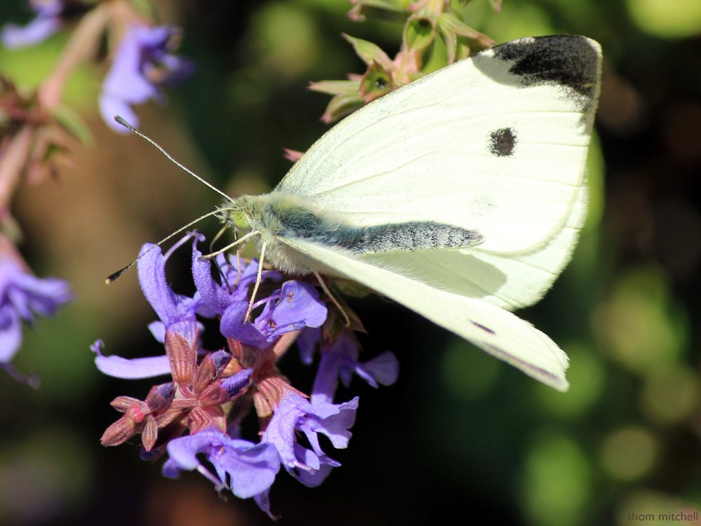 Cabbage White  by rhoing